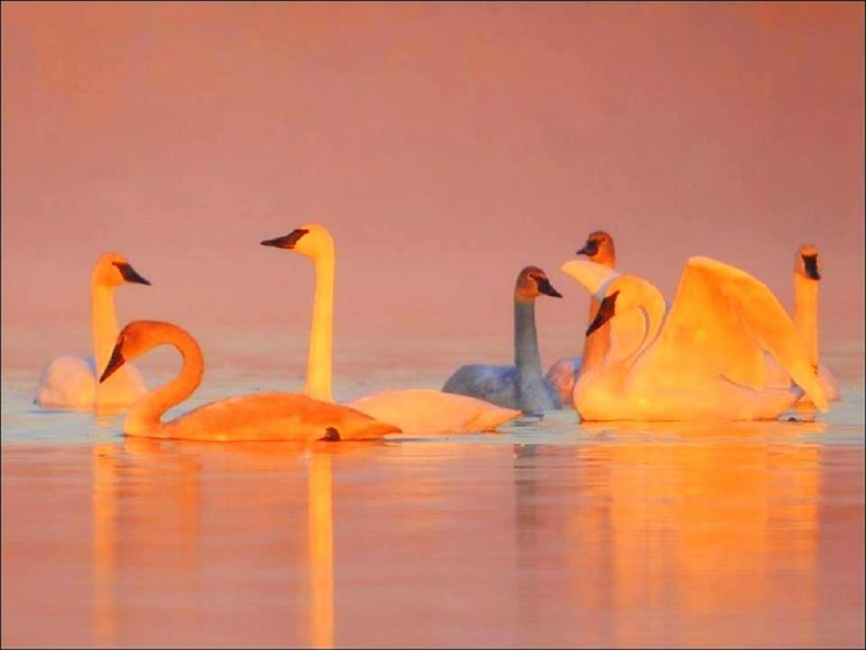 grey swan